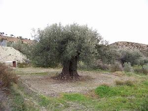 Andalucía valida en la primera licitación al almacenamiento privado de aceite de oliva casi 292.500 toneladas