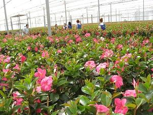 El valor de la exportación de plantas y flores de Almería el año pasado triplicó el de 2001, con 12,9 millones de euros