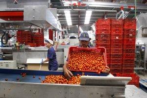 El Comité Mixto del Tomate analiza la situación del mercado y los efectos del Acuerdo de la UE con Marruecos