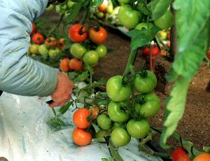 El Grupo de Tomate propone a la UE un único método de control de las importaciones