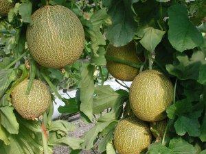 Las inspecciones verifican la «gran calidad» del melón y la sandía de la provincia de Almería
