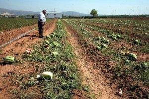 El pedrisco provoca daños en varias fincas  de la comarca del Almanzora