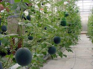 Agricultura refuerza su campaña 'No cortes en verde' para evitar la recolección de melón sin maduración suficiente