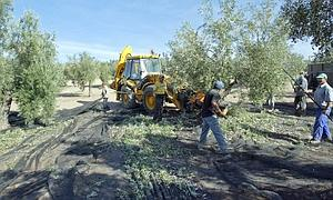 Agricultura califica de positiva la decisión del Gobierno de aplicar una rebaja estructural al módulo fiscal del olivar