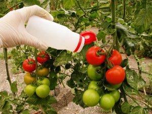 Más de la mitad de la superficie de tomate se cultiva con control biológico en Almería
