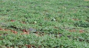 Los productores de sandía al aíre libre acumulan tres campañas de bajos precios