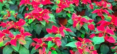El valor de las exportaciones almerienses de plantas  ornamentales y flores crece un 11% entre enero y junio
