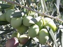 Faeca confirma una campaña histórica de aceite de oliva