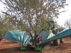 La caída de la cosecha de almendra de Almería en 2013 eleva el valor de la producción un 23,5%
