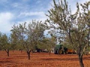 Cae un 40% el rendimiento de la última cosecha de almendra