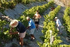 Los viticultores españoles y las Denominaciones de Origen reclaman la continuidad del sistema de derechos de plantación de viñedo