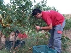 La Junta abre el plazo de solicitud de derechos de plantación de viñedo disponibles en la Comunidad Autónoma