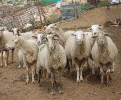 La Junta implica al sector en el diseño de un plan que fomente la ganadería extensiva ecológica y la venta de sus productos