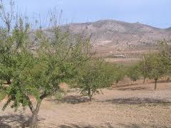 Los productores de frutos secos de Los Vélez pierden el 80% de la cosecha de almendra