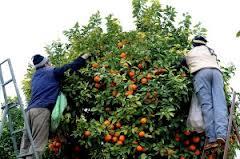 Junta y sector constituyen el Grupo de Trabajo de Cítricos para  poner en marcha una estrategia que mejore la situación del sector