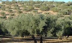 Judit Anda destaca el peso del olivar como cultivo insignia de Andalucía y fuente de riqueza y empleo en el medio rural