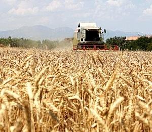 Asaja Granada alerta de la propagación de la plaga de la Roya amarilla del trigo
