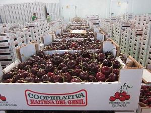 El cultivo de la cereza se consolida en Granada de la mano de la cooperativa Maitena del Genil