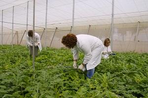 La Junta celebra en La Mojonera una jornada técnica sobre el 'Tomato leaf curl New Delhi virus' en cultivos hortícolas protegidos