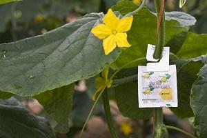 Koppert recomienda extremar el control de mosca blanca en hortícolas para evitar virus que merman la cosecha