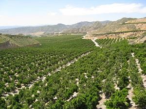 Italia compra el 39% de las naranjas que exporta Almería, y Alemania más del 30% de los limones