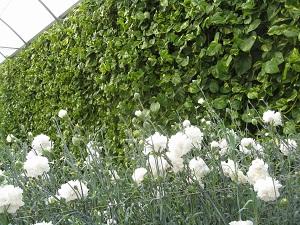 Más del 98% de la flor cortada que exporta Almería se destina el mercado holandés y el resto a Marruecos