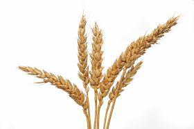 Sube el precio del trigo por las expectativas meteorológicas