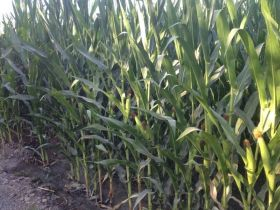 Francia prohíbe el cultivo de maíz transgénico