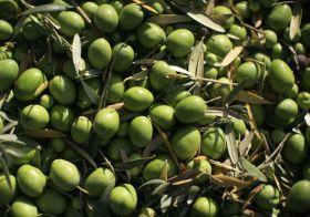 El Ministerio estudiará ayudas para el olivar en pendiente