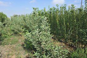 El Gobierno reordena el sector de las plantas de frutales de vivero