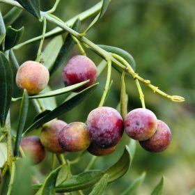 El olivar ecológico andaluz tendrá primas diferenciadas