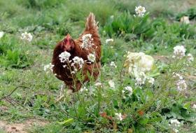 Las aves ponedoras españolas podrán entrar en China