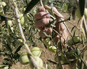España se configura como el principal productor y exportador mundial de aceituna de mesa