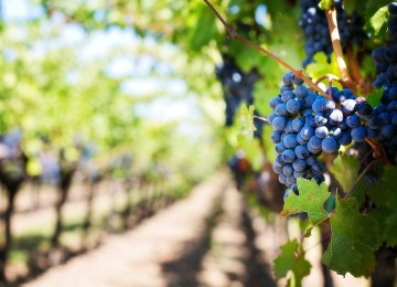 Nueva normativa sobre el Sistema de Información de Mercados del Sector Vinícola y el régimen de autorizaciones de plantaciones de viñedo