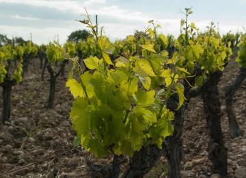 Publicado el listado de adjudicatarios de nuevas plantaciones de viñedo para 2016