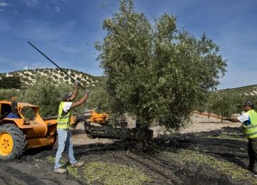 El mercado del aceite de oliva consolida la tendencia positiva en la comercialización en la nueva campaña 2016/17