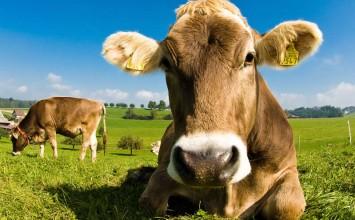 Cada día abandonan la actividad dos productores de leche de vacuno