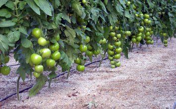 La horticultura de invernadero en España supone el 43% del valor de las hortalizas en nuestro país