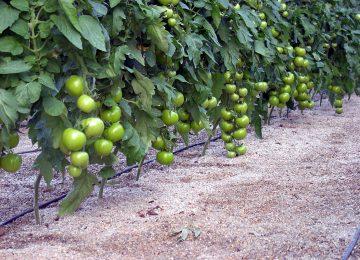 Tradecorp obtiene el registro de Boltex C, un antimildiu para tomate de industria