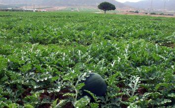 Más de 20.000 hectáreas en cultivo del Almanzora peligran por la falta de agua