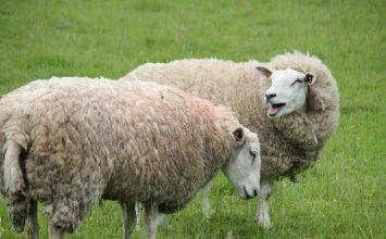 Supuesto aumento de las producciones de leche de ovino en un 25% pese a la disminución de un 2,3% del censo de ordeño