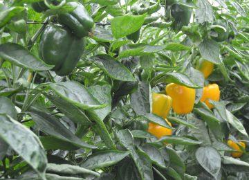 Almería exporta más frutas y hortalizas a Reino Unido, a pesar del Bréxit