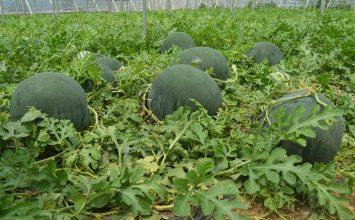 La sandía y melón de Almería cumplen con la calidad que pide el mercado