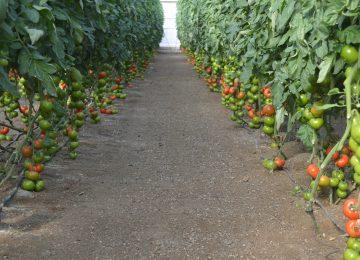 El retraso y una menor superficie de cultivo   reduce la oferta de tomate en este el inicio