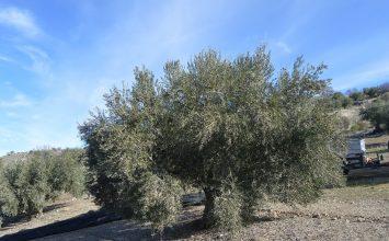 FMC es líder en soluciones eficaces para la sanidad del olivar