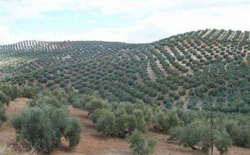 Las más de 6.000 muestras de material vegetal analizadas por Agricultura dan resultado negativo en Xylella fastidiosa