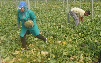 Agricultura estima para Almería un descenso de la superficie de melón del 8% y un aumento del 3% de sandía