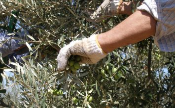 La producción de aceituna de mesa supera en un 4% la previsión del aforo y alcanza las 441.830 toneladas