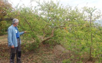Cada vez más productores de subtropicales se deciden a cultivar la guayaba