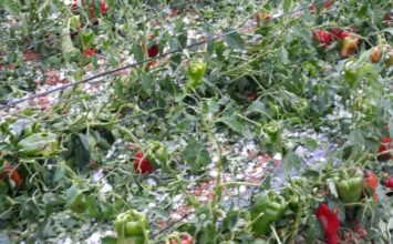 El granizo provoca daños en la cosecha de almendra y hortalizas en la comarca de Baza